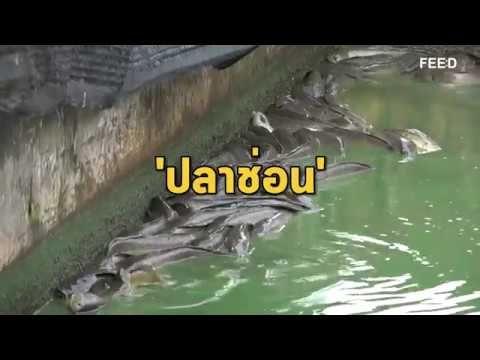เล ยงปลาช อน ช องทางสร างรายได ใหม เล ย5งง ายใช เวลาไม นาน Youtube