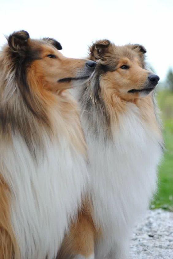Border Collie S On Big Barker Beds Dog Breeds Herding Dogs