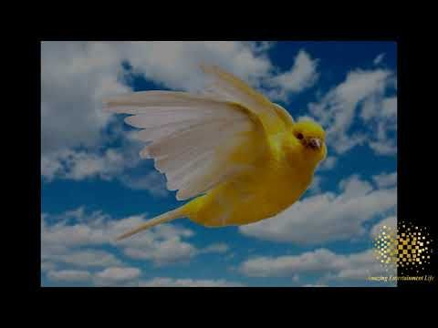 The Power Of Canary Tweets To Eliminate Breed Canaries Sound اقوى تغ Fish Pet Breeds Pets