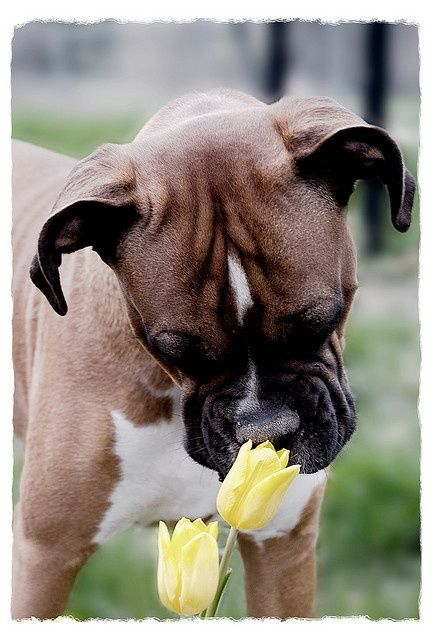 Young boxer dog stops briefly to smell beautiful yellow tulips: