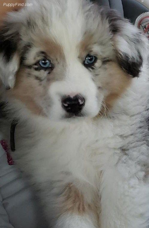 Cutest Little Button Australian Shepherd Aussie Dogs Shepherd Puppies
