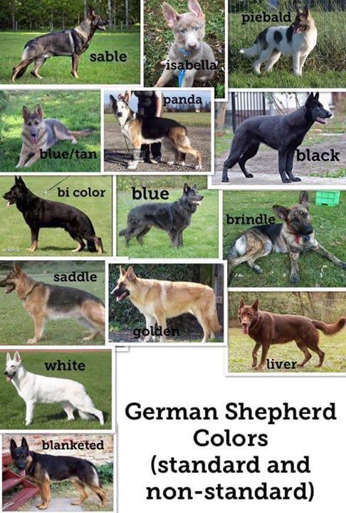 German Shepherd Colors Standard Non Standard German Shepherd