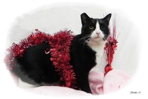 Shelby is an adoptable Tuxedo Cat in Emporia, KS.  ...
