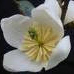 Michelia gracipes | Texture Plants