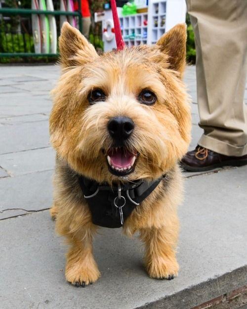 Tom Norwich Terrier 4 Y O Central Park New York Ny I Call