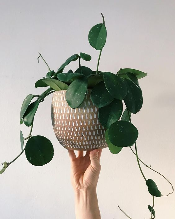 Pilea | PLANT | Nutrition Stripped #nutritionstripped