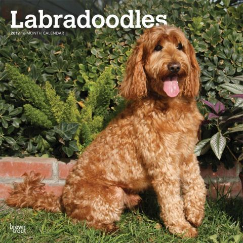 Labradoodles 2019 Calendar A Labradoodle Is A Cross Between A Labrador Retriever And A Poodle Energetic And Smart Labrad With Images Labradoodle Dog Calendar Dog Breeds