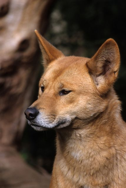 Dingo on Fraser Island, Queensland, Australia #fraserisland #queensland #australia www.fraserisland.net