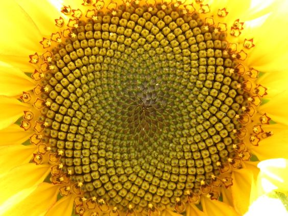 Sunflower.  Mandala.