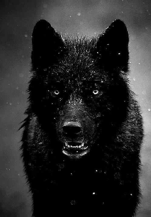 wolf in black and - photo #10