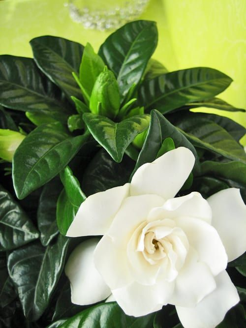 Gardenia A Beautiful And Highly Fragrant Plant Plants Planting Flowers Flower Photos