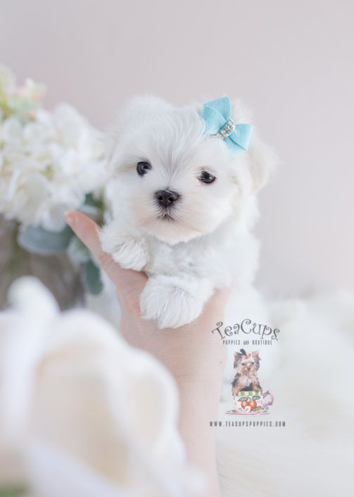 Maltese Puppy For Sale Teacup Puppies 131 Maltese Puppy Teacup