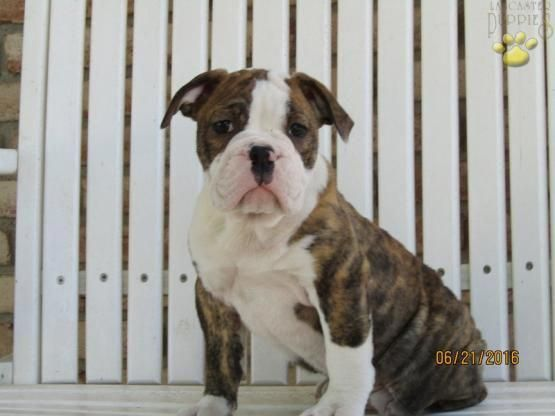 Daisy Or Melody English Bulldog Puppy For Sale In Sugar Creek Oh Lancaster Puppies Bulldogsenglish Bulldog Puppies For Sale Lancaster Puppies Puppies For Sale