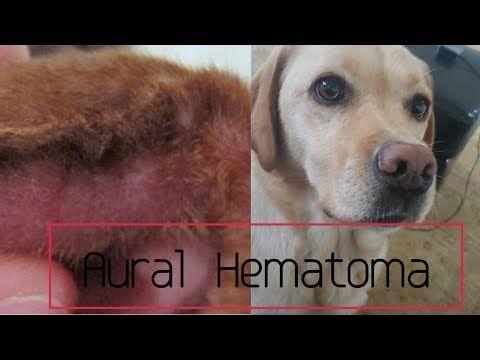 Ear Hematoma In Dogs Aural Hematoma Youtube Dog Treatment