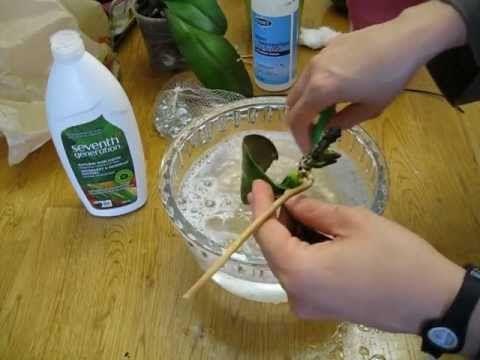 Paso a paso transplante de orqu dea phalaenopsis enferma - Como cuidar una orquidea en casa ...