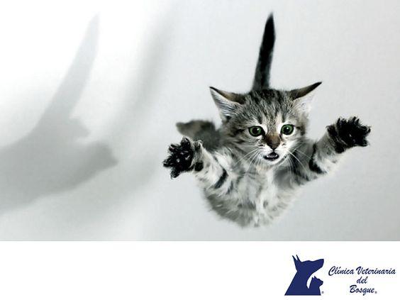 Las caídas de los gatos. LA MEJOR CLÍNICA VETERINARIA. Los gatos tienen fama por caer siempre de pie y de grandes alturas. Esto lo logran gracias a que son muy ágiles y a que las vibrisas les dicen a qué distancia se encuentra del suelo. Sin embargo, en alturas mayores a 2 metros pueden lastimarse. En Clínica Veterinaria del Bosque contamos con médicos especialistas para asesorarte acerca de la salud y bienestar de tu mascota. www.veterinariadelbosque.com #cuidadodemascotas