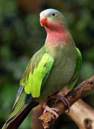 Princess Parrot | פאראקיטים - Parakeets - תוכי הנסיכה - Princess ...