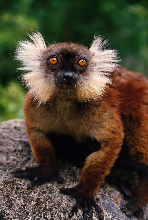 Black lemur female, Eulemur macaco macaco, Madagascar