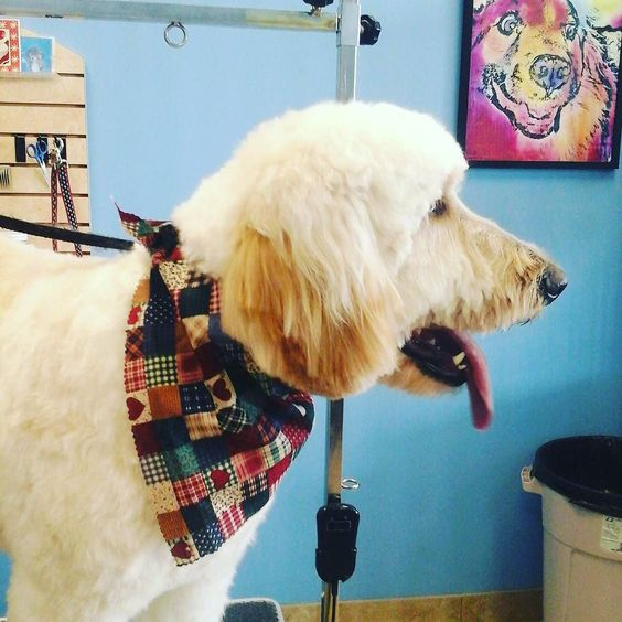 This big beauty is Roxanne #tucsondoggrooming #wagsmytail #doggrooming A well groomed dog is a well loved dog! Call us today to schedule your dog grooming appointment 520-744-7040