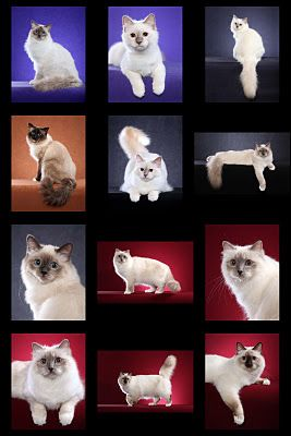 Birmans Birmans Birmans! Cats et cetera from Helmi Flick