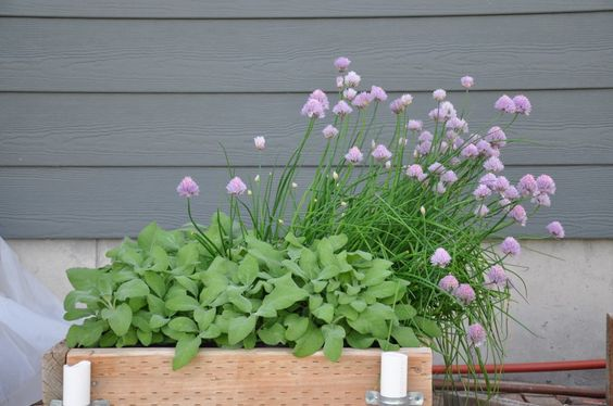 Sage and chives in planter box by back of house on 06/04/2014.