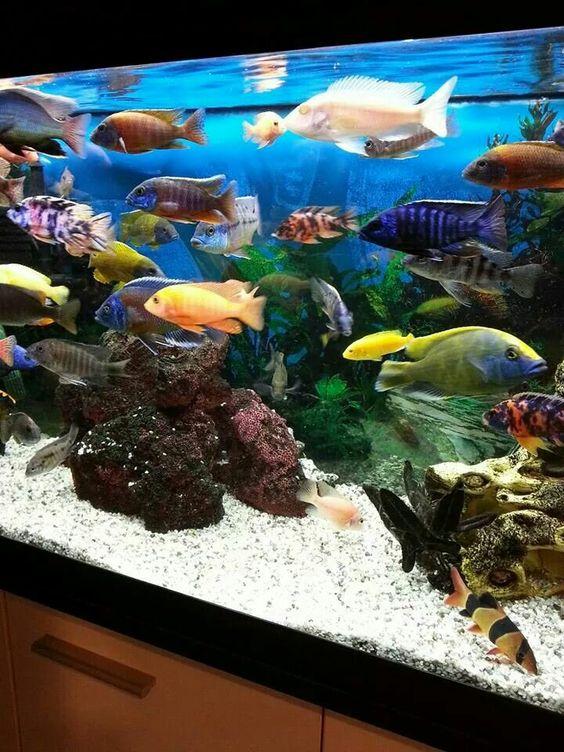 explore aquarium 2016 aquarium crazy and more cichlids tanks