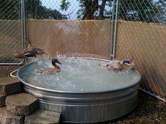 Stock tank ducks and ponds on pinterest for Chicken in swimming pool