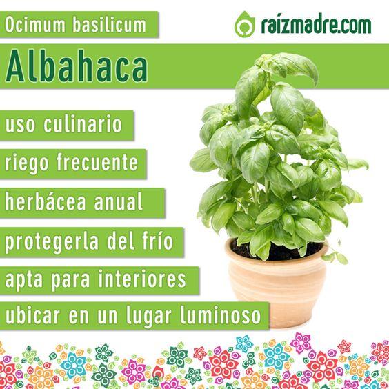 Les compartimos la ficha de cuidados de la albahaca para - Plantas aromaticas en la cocina ...