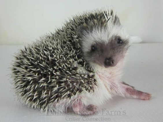 Baby Hedgehog Canned Cat Food