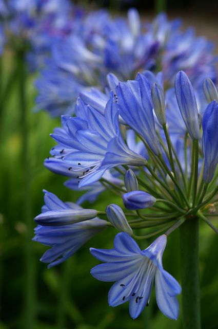 Agapanthus. Pretty, Showy and Drought tolerant...a lovely addition to any yard: