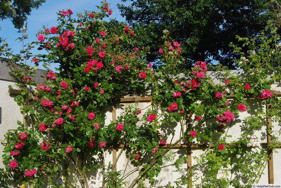 Laguna Rose Photo Rose Photos Rose Beautiful Flowers