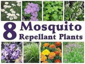 to plant all of these plants in my yard to keep the mosquitoes away