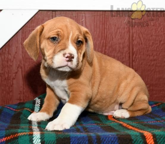 Oscar Beabull Puppy For Sale In Millersburg Oh Lancaster