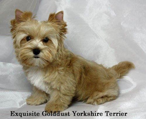 Golddust Yorkie Yorkshire Terrier Puppies Terrier Puppies Yorkshire Terrier Dog