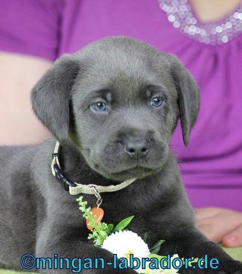 Pin Von Frederic Horbach Auf Tiere In 2020 Labrador Welpen Labrador Welpen Silber