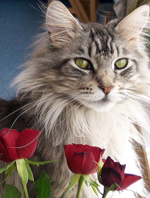 Purrfect as a Rose   <3