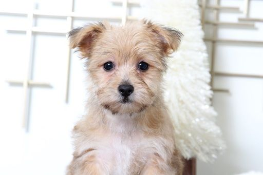 Morkie Puppy For Sale In Bel Air Md Adn 55723 On Puppyfinder Com