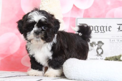 Shih Tzu Puppy For Sale In Bel Air Md Adn 70527 On Puppyfinder