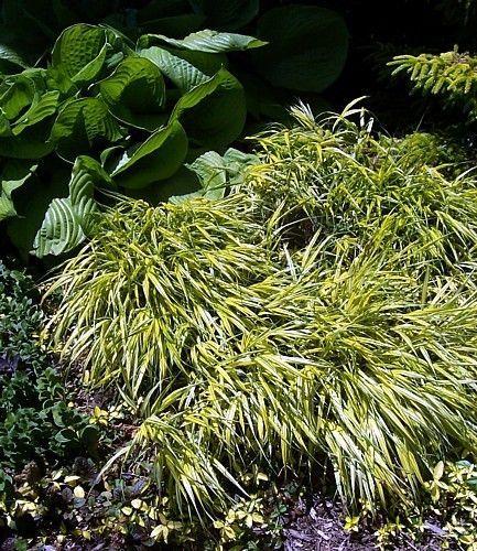 Golden japanese forest grass hakonechloa aureola shade for Oriental grass plants