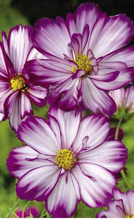 ~~Cosmos bipinnatus 'Fizzy Rose Picotee' | Semi-double blooms have pale pink petals, each edged in dark rose, around golden centers. Blooms summer to frost | Log House Plants~~