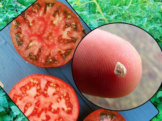 Como Secar Sementes de Tomate! Método Fácil e Rápido!