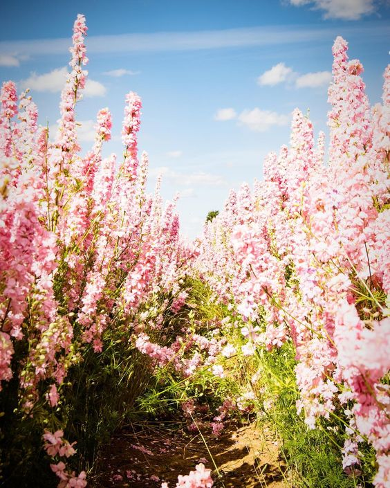 C O N F E T T I     Its that time of year in the little village of Wick Nr Pershore to open to the public the truly amazing @realflowerpetalconfetti fields!! I personally havent visited this year but here is one from last year and Id recommend anyone to take a trip over and admire this natural spectacle!! #maketodaysoawesomeyesterdaygetsjealous #landscape #landscapelove #confetti #weddings #weddingseason #floral #flower #petals #love #leadinglines #portrait #igersworcestershire #photosofbritain #visitworcestershire #nikon #nikonphotography #summer #rememberthetime #natural #nature #apmagazine