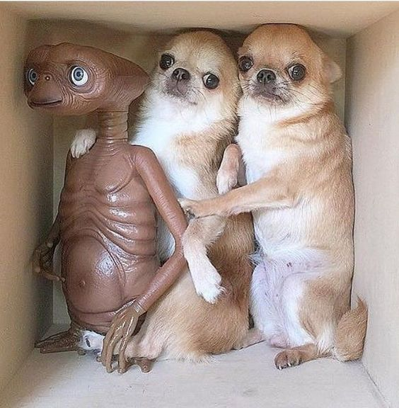 Two chihuahuas with a toy ET Extra Terrestrial #et #chihuahua #extraterrestrial