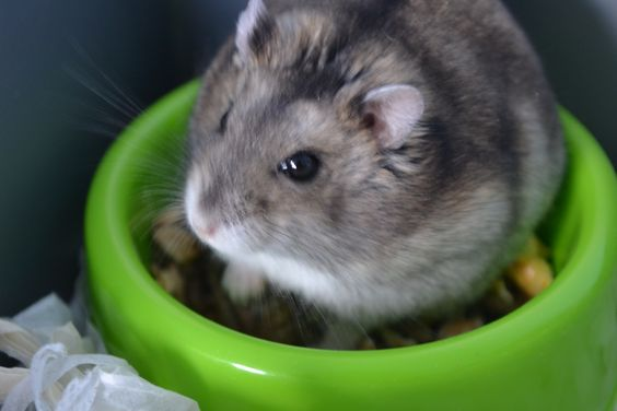 russian dwarf hamster All things fluffy and cuddly