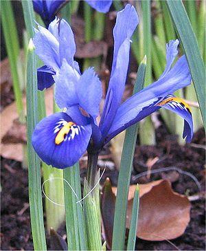 """""""Die Netzblatt-Schwertlilie ist eine mehrjährige, krautige Pflanze, die Wuchshöhen von 7 bis 15 Zentimetern erreicht. Dieser Geophyt bildet kleine Zwiebeln als Überdauerungsorgane. Die Laubblätter sind sehr schmal und werden bis 30 Zentimeter hoch. Je nach Sorte umfasst die Blütenfarbe verschiedene Blautöne von Hellblau bis Pupurviolett, mit Gelb und Weiß. Die Blütezeit ist hauptsächlich im März, je nach Lage auch Ende Februar."""" - Wikipedia"""