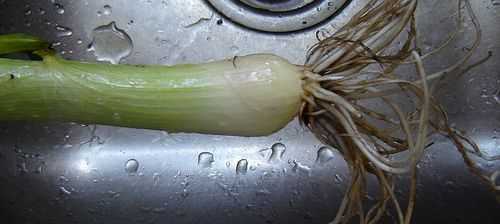 you can grow a whole onion from the cut off part?! Holy genius batman!