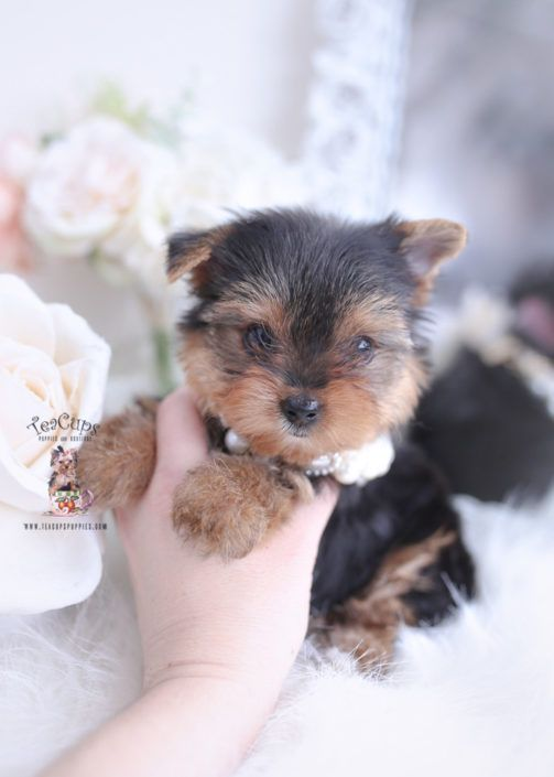 Toy Teacup Puppies For Sale Cuteteacuppuppies Yorkie Puppy For Sale 489 Teacup In 2020 Teacup Puppies Yorkie Puppy Teacup Puppies For Sale