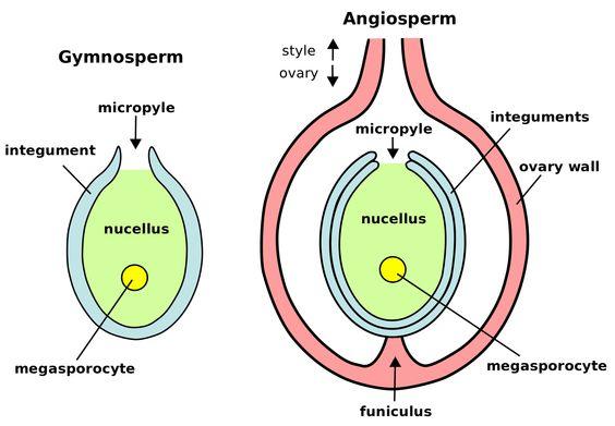 megagametophyte gymnosperm vs angiosperm
