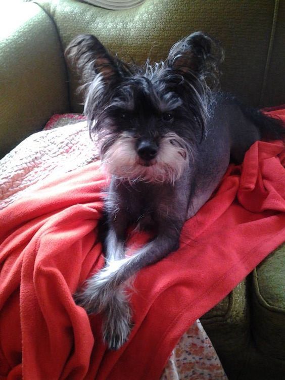 Adopt Anu On Schnauzer Dogs Dog Care Chinese Crested Dog