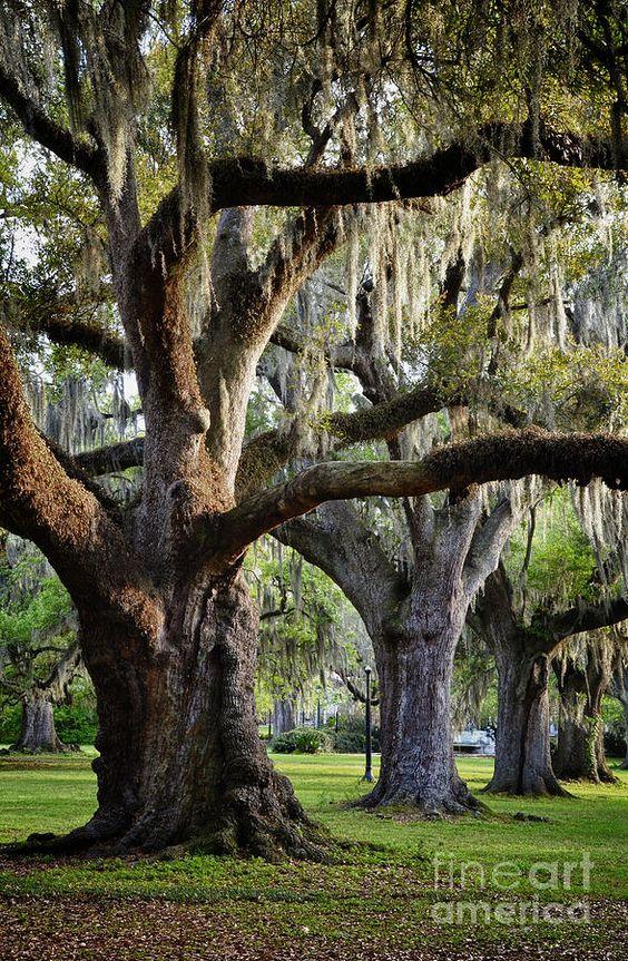Oak Trees Left By Jeanne Woods Live Oak Trees Southern Oaks Beautiful Tree